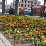 پیش بسوی بهار؛ فرش گلهای فصلی در معابر شهر صالحیه